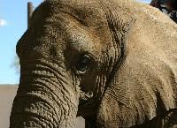ElephantSmall