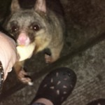 possum feeding